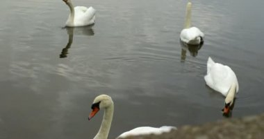 Swans gliding over water — Stok video
