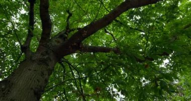 Low angle view of lush green tree — Stock Video