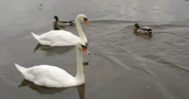 Swans gliding over water with ducks swimming — Stok video