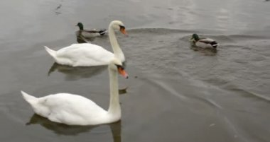 Swans gliding over water with ducks swimming — Stock Video