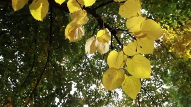 Yellow leaves blowing in the wind in a forest — Stock Video