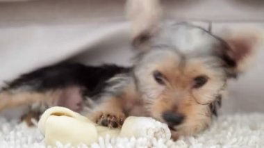 Cute yorkshire terrier puppy chewing on a bone — Stock Video