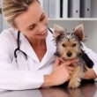 Vet checking a yorkshire terrier — Stock Video #42668535