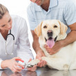 Dog getting claws trimmed by vet — Stock Photo #42937503