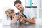 Veterinarian examining ear of puppy — Stock Photo