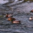 Ducks swimming on the lake — Stock Video #45180573
