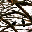 Crow flying from branch to branch — Stock Video #45182981