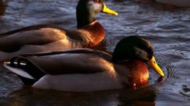 Ducks swimming on the lake — Stock Video