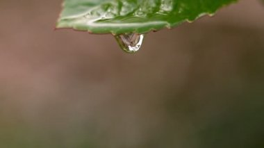 Water falling from leaf — Vídeo de stock