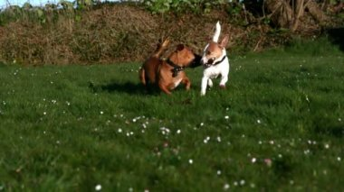 Two dogs fighting for a stick in the garden — Vídeo de stock