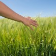 Womans hand touching wheat in field — Stock Photo #50065575