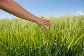 Womans hand touching wheat in field — Stock Photo