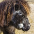 Shetland pony senior - Stock Photo
