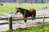 Vackra bay häst bakom en gård staket — Stockfoto