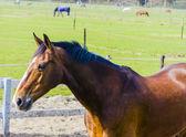 Lindo cavalo baía no campo de fazenda — Foto Stock