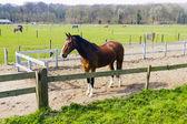 Hermoso caballo bahía detrás de una cerca de la granja — Foto de Stock
