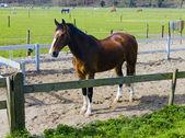 красивая бухта лошадь за забором фермы — Стоковое фото