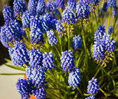 Grape muscari hyacinth flowers — Stock Photo