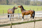 One horse trying to bite other horse — ストック写真
