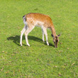 Sika deer wating the grass — Stock Photo