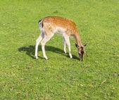 Sika deer wating the grass — Stock Photo