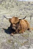 Cattle scottish Highlanders, Zuid Kennemerland, Netherlands — Stock Photo