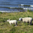 Stock Photo: Sheeps at dike, Netherlands