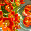 Red tulips and apples in sunlight — Stock Photo