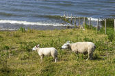 Sheeps at a dike, the Netherlands — Stock Photo