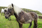Beautiful Icelandic horses — Stock Photo