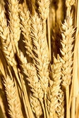 Gold wheat ears background — Stock Photo