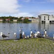 Seagulls near a pond in the center of Reykjavik — Stock Photo #30465883