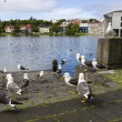 Seagulls near a pond in the center of Reykjavik — Stock Photo