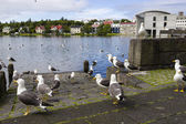 чайки возле пруда в центре рейкьявика — Стоковое фото
