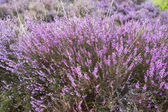 Branches of a blossoming heather close up — Stock Photo