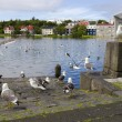 Stock Photo: Seagulls near a pond in the center of Reykjavik