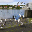 seagulls near a pond in the center of reykjavik — Stock Photo #32037805