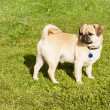 Dog Pug on green grass in a park — Stock Photo