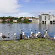seagulls near a pond in the center of reykjavik — Stock Photo #35449337
