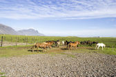 Funny horses in the fields of Iceland — Stock Photo