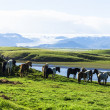 Funny horses in fields of Iceland — Stock Photo #38936093