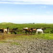 Funny horses in the fields of Iceland — Stock Photo #39021875