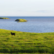 Stockfoto: Iceland summer landscape. Goat on sea coast in the meadows