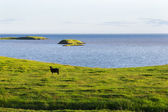 Iceland summer landscape. Goat on sea coast in the meadows — 图库照片
