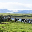 Stock Photo: Funny horses in fields of Iceland