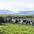 Funny horses in fields of Iceland — Stock Photo #39259451