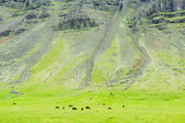 Icelandic horses in a peaceful meadow dominated by a volcanic ro — 图库照片