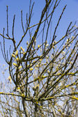 Group of spring pussy-willow branches on blue sky background — Stock Photo