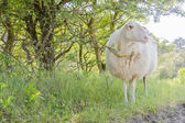 Lonely sheep curiously looking in sunny day. — Stock Photo