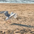 A seagull walking on the beach in the Netherland, North Sea — Foto Stock #48702803